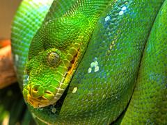 A visit in the Zoo (yushimoto_02 [christian]) Tags: tree green canon geotagged zoo singapore reptile snake python singapur hdr schlange singapura reptil singaporezoo greentreepython serpiente moreliaviridis animalkingdomelite baumschlange