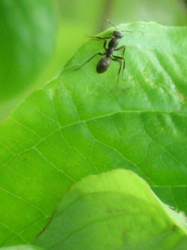 Ant on Dogwood Leaf
