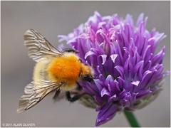 Bourdon des champs sur une fleur de ciboulette