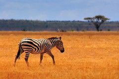 STR!PES (| HD |) Tags: africa 20d nature animal canon kenya wildlife safari heat zebra hd darwish hamad savanna wwwhamaddarwishcom
