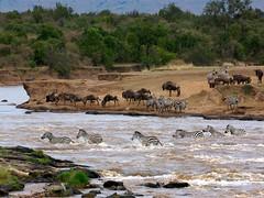 zebras_crossing.jpg (Mathias Berenger) Tags: kenya safari zebra wildebeest masaimara