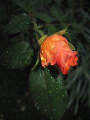 Orange water drops (shaindelita) Tags: orange flower beauty rose flor rosa fiore rugiada belleza rocio bellezza arancione anaranjado
