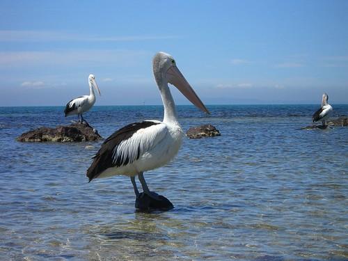 Pelicans - Indented Head