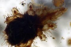 Acari. (Pablo Leautaud.) Tags: mxico mexico veracruz microscope mites mite chelicerata acari acaro acaros pleautaud