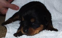 2 weeks old (muslovedogs) Tags: puppy rottweiler teaara zeusoffspring