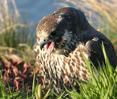 Wild Peregrine Falcon (William  Dalton) Tags: bird raptor falcon brigantine falcoperegrinus featheryfriday specanimal animalkingdomelite impressedbeauty avianexcellence diamondclassphotographer perigrenefalconimmaturewild