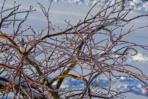 Japanese-Maple-on-ice