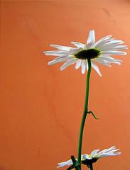 Margaridas (Eli K Hayasaka) Tags: flowers brazil flores flower macro nature brasil nikon sãopaulo natureza flor sampa daisy margarida duetos hayasaka colourartaward platinumheartaward artlegacy elikhayasaka thechallengefactory