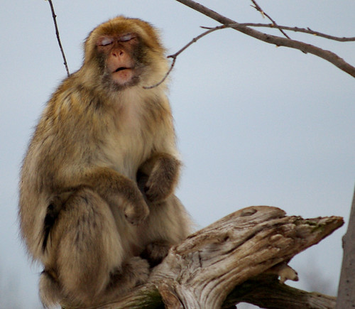 Disgusted Barbary Ape