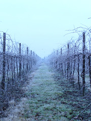 Romagna Winter (inka7791) Tags: winter cold ice nature wine brina natura spine uva inverno freddo ghiaccio vigna
