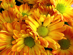 Yellow Daisies (Ricardo Martins) Tags: flowers brazil flores yellow brasil daisies ricardo martins margaridas amarelas ricardomartins astonishingflowers