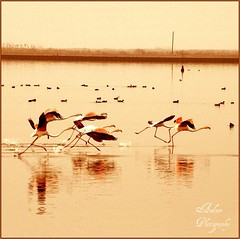 Scramble (andzer) Tags: fauna race river flamingo hellas delta lagoon andreas greece macedonia thessaloniki flee scramble myfaves salonica ellada biotope axios  zervas   kaloxori betterthangood andzer kalochori salonicagroup       imagescollectors