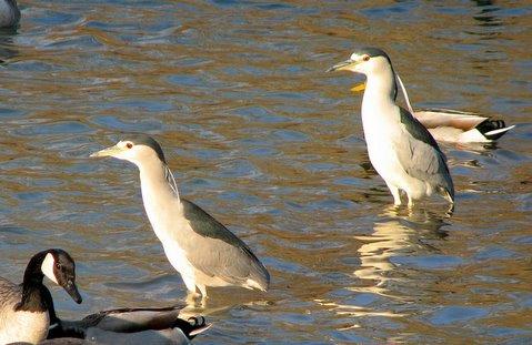 black-crowned night heron s( winter migrants)