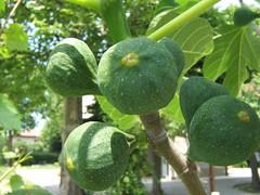 I sette fichi (GlorianAGE) Tags: fig figs fico fichi