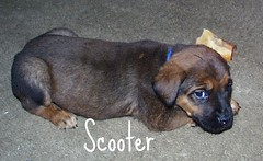 Scooter (muslovedogs) Tags: dogs puppy mastweilers zeusoffspring myladyoffspring