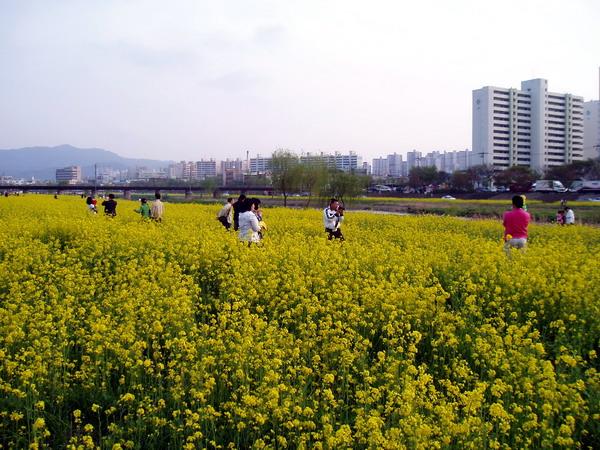 Rape blossom (2)