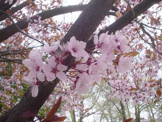 Gravesend Blossoms