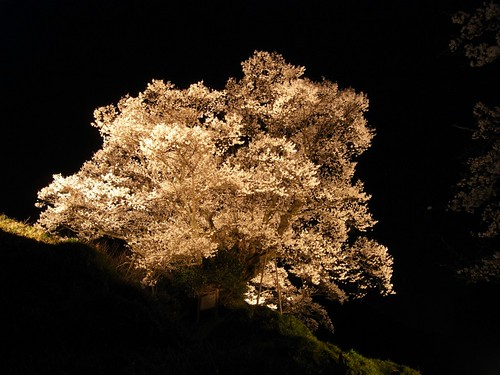 仏隆寺(千年桜)ライトアップ-03