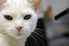 (buffpuff) Tags: cats pets animals kitties