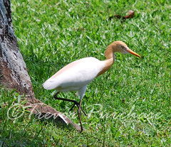 Stalker (WanderWorks) Tags: india white bird heron nature grass cattle legs beak kerala fowl egret