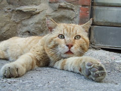 micio o leone? ([mC]) Tags: cat tuscany felino toscana rosso gatto animale cortona emmeci