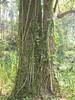 96.11.16竹崎鄉光華村茄苳風景區內的茄苳老樹DSCN3190