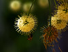 Supernova (edwardleger) Tags: flower tree nature louisiana bee 2008 golddragon mywinners edwardleger goldstaraward exquisiteimage edwardnleger