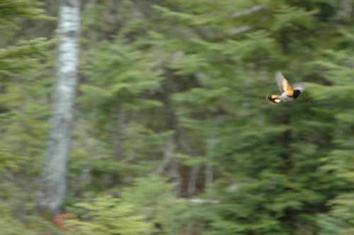 Redstart in flight