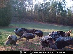 Flock of Wild Turkey (pradco01) Tags: camera wild game turkey trail feeders scouting moultrie