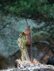 Have you seen Alan ? (DavyMorg) Tags: redsquirrel squirrel red country countryside nature wildlife outdoors green awesome best photogenic photo canon 7d2 100400 snow magic trees sticks brown stump celebrity febuary powhill derwent