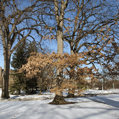 Frenzy of marcescence. Ongoing non-leaf-loss of bottom branches of oak come March. (Tim Kiser) Tags: 2015 20150309 campuscircle capitalregion eastlansing eastlansingmichigan eastlansinglandscape img7491 inghamcounty inghamcountymichigan lansingmetropolitanarea msu march march2015 michigan michiganstate michiganstateuniversity michiganstateuniversitylandscape michiganlandscape quercus abscission brownleaves centralmichigan deadleaves holdingontoitsleaves landscape marcescence midmichigan nonabscission oak oakmarcescence oaktree oaktreeholdingontoitsleaves oaktreemarcescence snow snowylandscape southcentralmichigan winterlandscape unitedstates