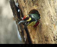 Coppersmith Barbet (hemant3d) Tags: hyderabad apps canon500d coppersmithbarbet sigma70300mm hemant3d