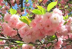 Powder puffs (snow41) Tags: pink tree cherry kc kwansan