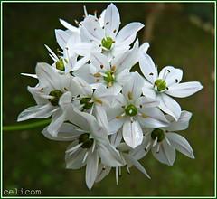 (celicom) Tags: naturaleza macro flor blanca mimamorflowers