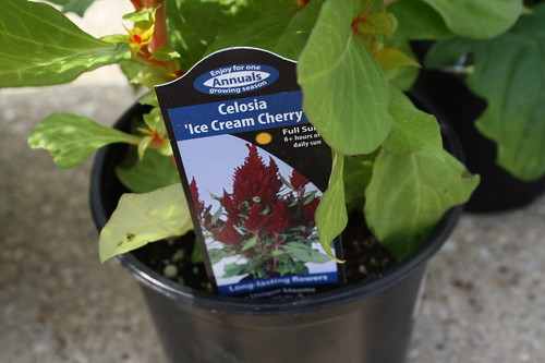 Celosia Ice Cream Cherry