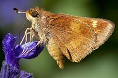 162/365  Skipper butterfly (pointnshoot) Tags: butterfly lakemerritt lakesidepark skipperbutterfly canonef100mmf28lmacroisusm