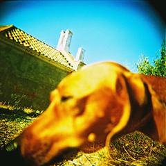 Samba - close up (almogaver) Tags: blue dog color macro film yellow azul analog holga xpro samba crossprocess slide slidefilm amarillo gelb catalunya blau 青 gos groc portbou analogic holga120cfn 黄色 e6c41 almogaver procéscreuat davidroca