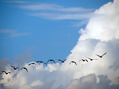 Freebird (cindy47452) Tags: blue sky clouds flying geese orleans indiana 100views 400views 300views 200views 500views orangecounty sihouette topic 800views 600views 700views protected 1000views migrate 900views 1100views platinumphoto onlyyourbestshots ibeauty p183 platinumphotography worldwideopen