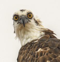 Osprey Eyes (Geoff Coe) Tags: birds wildlife explore raptor 300 osprey avian pandionhaliaetus fishhawk excellence naturesfinest featheryfriday swflorida specanimal img1644 mywinners impressedbeauty superbmasterpiece