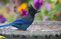 Steller's Jay's Bath Time (janruss) Tags: bird birds bath jay stellersjay naturesfinest wingedwonders colorphotoaward goldwildlife secretlifeofbirds bathingwater wingedwonderselite janruss janinerussell