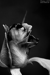 Black rose (Renmarc) Tags: bw white black flower nature rose garden dark mono flickr favorites natura explore more views faves fiore favs bianco nero giardino monocrome vegetazione interestingess bwdreams challengeyouwinner abigfave renmarc artlegacy