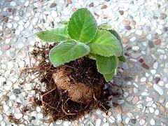 2007_1027F1大岩桐的塊莖