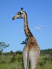 Is There Something On My Back? (curreyuk) Tags: africa animal animals southafrica safari giraffe krugernationalpark kruger potofgold currey jalalspagesanimalkingdom grahamcurrey curreyuk