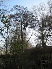 Zwarte Els wordt gesnoeid * trimming our Alder (Alnus glutinosa) (Natracha) Tags: trees tree bomen boom snoeien oosterwijtwerd