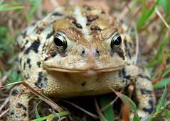 American Toad (J-Fish) Tags: macro nature amphibian frog toad americantoad bufoamericanus z612 kodakz612 5bangs
