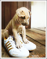 How can I run fast? (Pkamo@Tai) Tags: dog pet cute puppy thailand shoes thai mydog mypuppy moak canvasshoes mywinners ratedpro puykamo ratedproaintnewbie aintnewbie invitedphotosonlyaintnewbie awhoahphoto puykamophotos