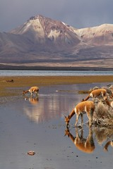 Vicunas, Lago Chungara, Lauca Nat. Park (Niall Corbet) Tags: chile lake reflection nationalpark llama wanderlust explore altiplano vicuna parinacota camelid lauca chungara mywinners vicugnavicugna impressedbeauty bfgreatesthits goldwildlife