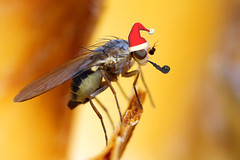 Christmas fly (Lord V) Tags: christmas macro bug insect fly specanimal ysplix goldstaraward