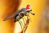 Christmas fly (Lord V) Tags: christmas macro bug insect fly specanimal ysplix goldstaraward