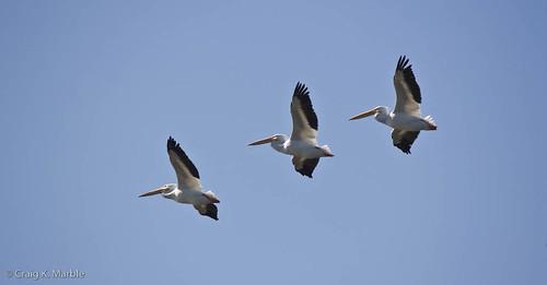 American White Pelican-2